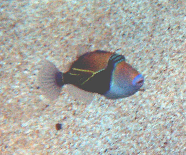Hawaii state fish flickr photo sharing for Hawaii state fish