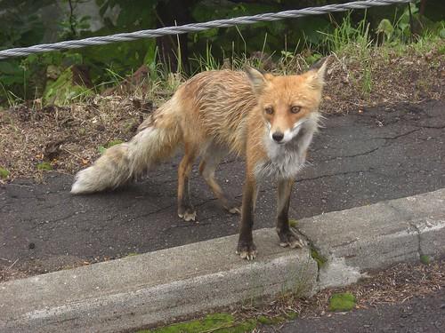 キタキツネ / Ezo red fox