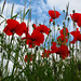 Coquelicot - Poppies