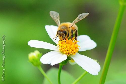 義大利蜂,黃基峰攝。