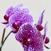 Small photo of Orchid