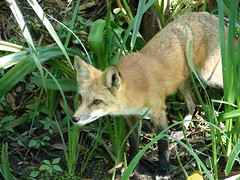 grey fox(0.0), red fox(0.0), saarloos wolfdog(0.0), kit fox(0.0), animal(1.0), red wolf(1.0), mammal(1.0), fauna(1.0), fox(1.0), dhole(1.0), wildlife(1.0),