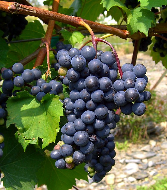 Goophered grapes pre ready 1