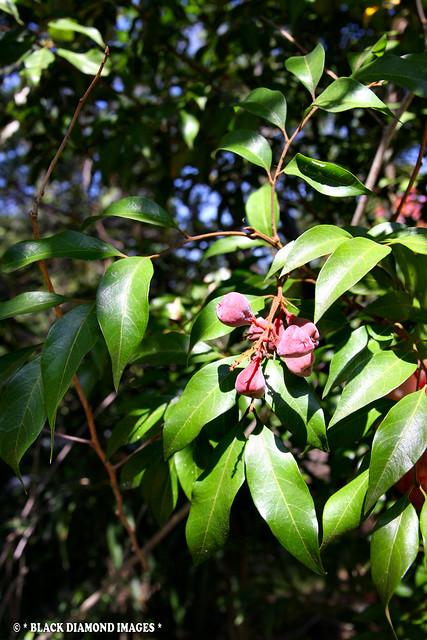 Sarcopteryx stipata - Steelwood,Corduroy Tree