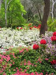 Rhododendron Garden, Blue Mountains