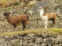arabian camel(0.0), alpaca(1.0), animal(1.0), mammal(1.0), llama(1.0), fauna(1.0), vicuã±a(1.0), guanaco(1.0), wildlife(1.0),