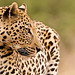 Leopard in Namibia 2342 by Merv Colton