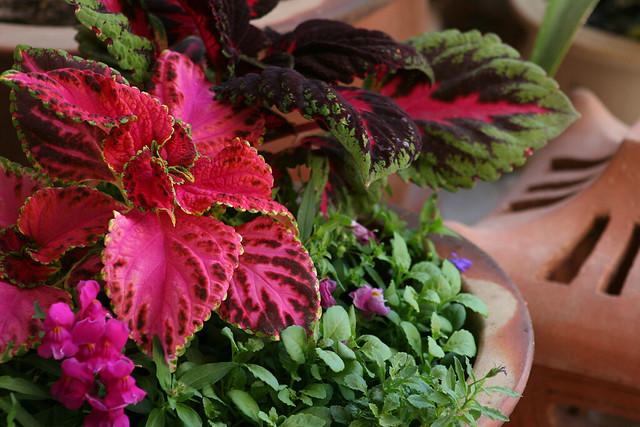 Coleus In Flower Pot Arrangement Flickr Photo Sharing