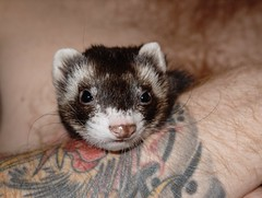 animal, mustelidae, mammal, fauna, polecat, whiskers, black footed ferret, mink, ferret,
