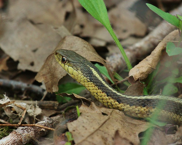 Garter Snake Flickr Photo Sharing