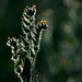 coast fiddleneck - Photo (c) Patrick Alexander, some rights reserved (CC BY-NC-ND)
