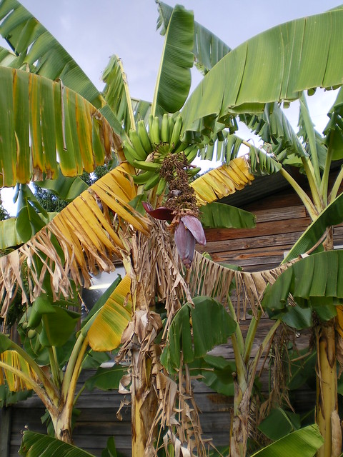 Banana Tree Pictures For Kids