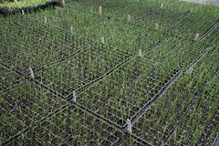 allium seedlings
