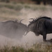 Blue Wildebeest (Connochaetes taurinus) by Nature Photographer