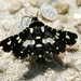 Mournful Thyris Moth - Photo (c) Patrick Coin, some rights reserved (CC BY-NC-SA)