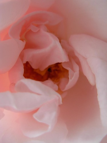 morning after deluge 6-- pink rose