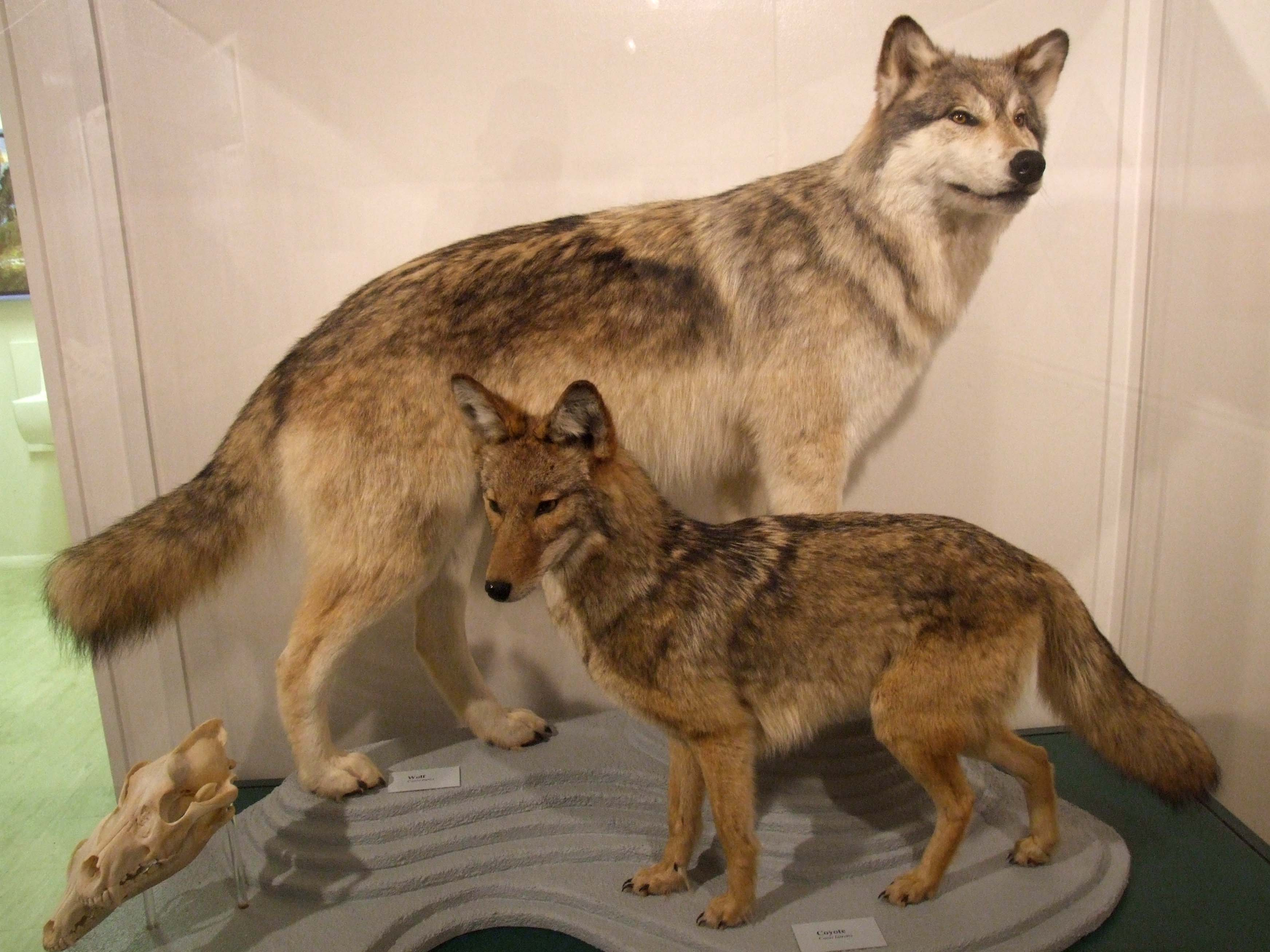 Wolves vs Coyotes