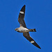 Common Nighthawk - Photo (c) Jerry Oldenettel, some rights reserved (CC BY-NC-SA)