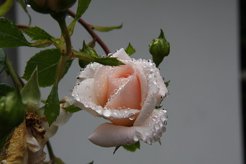 Rose with water drops 01