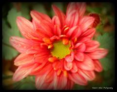 asterales, annual plant, dahlia, flower, gerbera, pink, petal,
