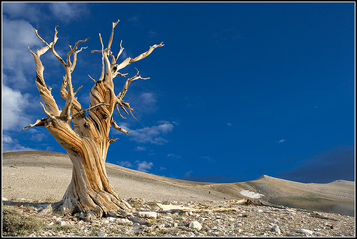 Old Bristlecone Pine, White Mountains