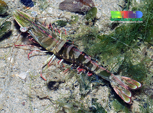 Penaeid prawn (Family Penaeidae)