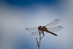 Sky Bokeh with Dragonfly