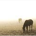 Horses in the Mist by Jan Meeus