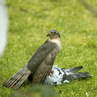 Sperber mit Beute / Sparrowhawk with prey