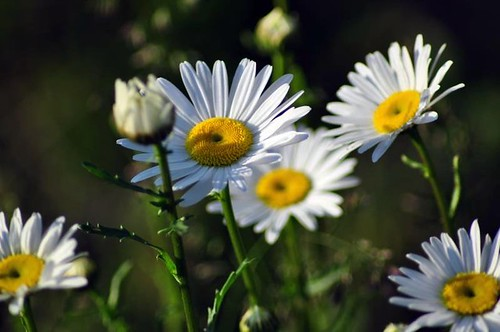 Wild Daisy by digitalambitions/ Valerie Hogg