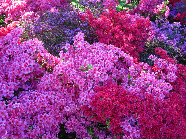 The blooming azaleas in the Osborne Garden create a dynamic color combination just in time for Sakura Matsuri this weekend. Photo by Rebecca Bullene.