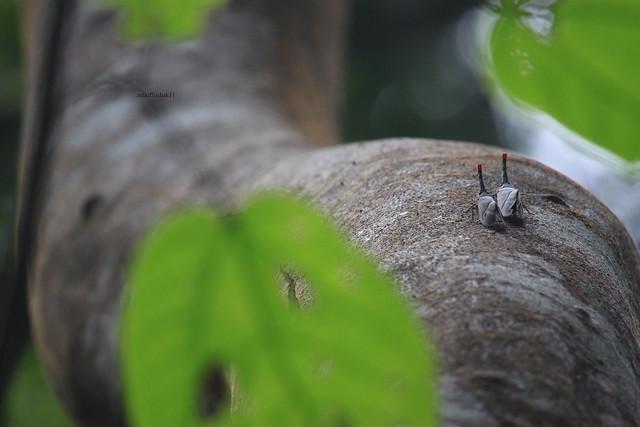 Sepasang Lantern Bug