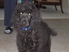 toy poodle(0.0), schnoodle(0.0), boykin spaniel(0.0), pumi(0.0), lagotto romagnolo(0.0), poodle crossbreed(0.0), bouvier des flandres(0.0), cockapoo(0.0), newfoundland(0.0), miniature poodle(1.0), standard poodle(1.0), dog breed(1.0), animal(1.0), dog(1.0), curly coated retriever(1.0), pet(1.0), irish water spaniel(1.0), poodle(1.0), portuguese water dog(1.0), spanish water dog(1.0), barbet(1.0), american water spaniel(1.0), carnivoran(1.0),