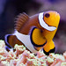 Amphiprion - Photo (c) ecatoncheires, some rights reserved (CC BY-NC-SA)