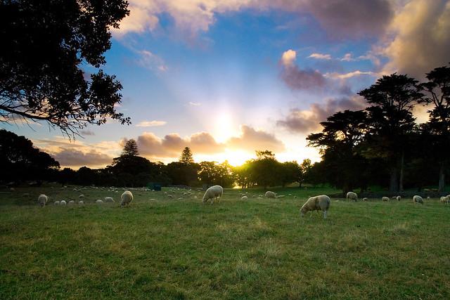 A Sheepish Sunset