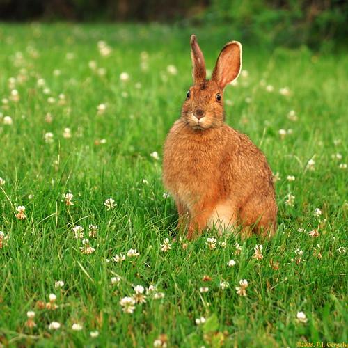 canada geotagged searchthebest newbrunswick cropped rabbits soe shediac interestingness155 i500 animalkingdomelite grouptags shieldofexcellence impressedbeauty allrightsreserved©drgnmastrpjg diamondclassphotographer flickrdiamond rawjpg 80v25f geo:lat=46236764 geo:lon=64486828 explore20080704 ©pjgergelyallrightsreserved