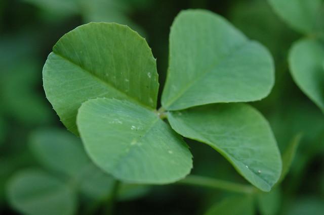 Four Leaf Clover 068