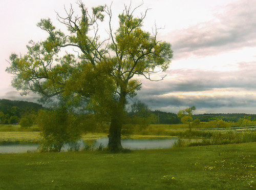 the old tree by the pond