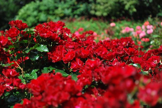 red rose flower  bunga...