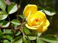 blossom(0.0), shrub(0.0), rosa pimpinellifolia(0.0), garden roses(1.0), floribunda(1.0), flower(1.0), yellow(1.0), rosa foetida(1.0), macro photography(1.0), flora(1.0), petal(1.0),