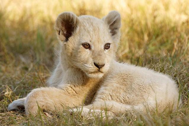 White Lion Cub   Flickr - Photo Sharing!