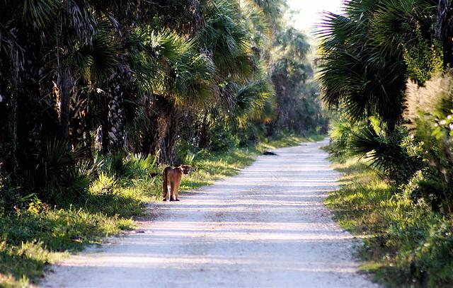 THE ELUSIVE FLORIDA PANTHER