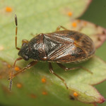 kisbodobács - Stygnocoris sabulosus