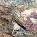 Hopper - Euscelidius variegatus by timz501