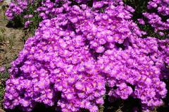 aster, annual plant, shrub, flower, purple, lilac, herb, flora,