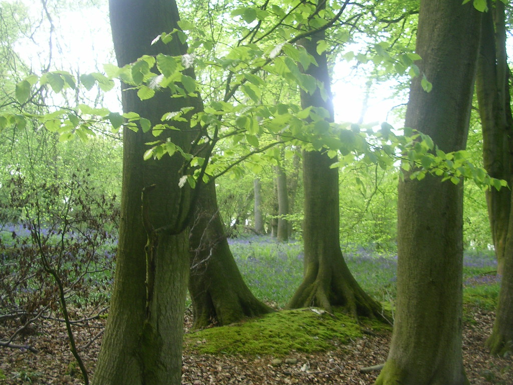 Wood with bluebells Extra walk: Cholsey to Goring