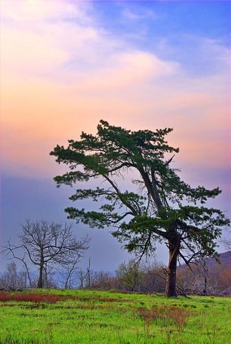 tree pine nationalpark meadow shenandoah hdr tamron28300 drewmyers nikond80 drewmyersphotonet vision100