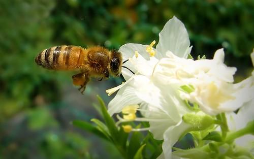 summer white flower macro green nature yellow canon suomi finland insect maria flight images bee sue honeybee kesä kerimäki luonto laakso flyinginsect kukka hyönteinen flyingbee mehiläinen anttola insectphotography easternfinland canonpowershota710is marialaakso sue323