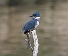 bluebird(0.0), crow-like bird(0.0), animal(1.0), branch(1.0), wing(1.0), fauna(1.0), blue jay(1.0), beak(1.0), bird(1.0), wildlife(1.0),