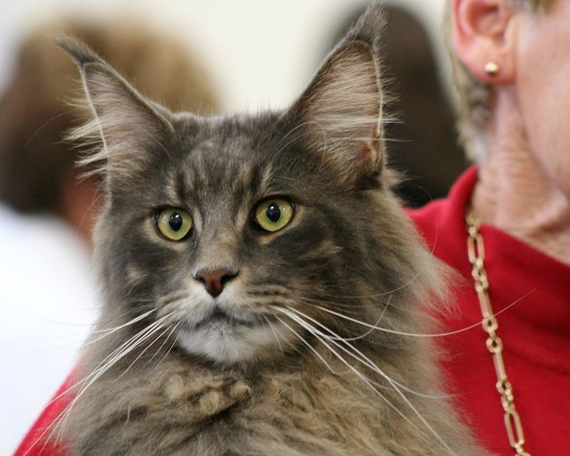 Maine Coon cat - Maineflame Brian Barou